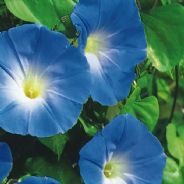 Ipomoea Heavenly Blue - 10 gram - 2KG